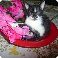 Adopt A Pet :: Splotch - Chicago, IL