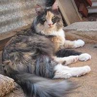 Adopt A Pet :: Tracy Ann - Las Cruces, NM