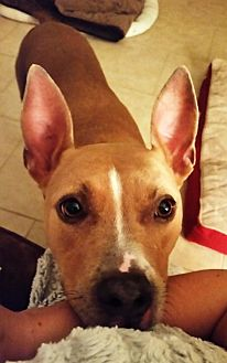 Ibizan Hound/Hound (Unknown Type) Mix Dog for adoption in DeLand, Florida - PEISHA - Emotional Support Animal