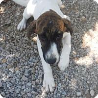 Adopt A Pet :: Jill - Batesville, AR