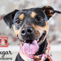 Adopt A Pet :: Sugar- Lonely Heart - Gulfport, MS