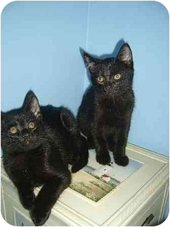 Domestic Shorthair Kitten for adoption in Bristol, Rhode Island - Lysander & Demetrius