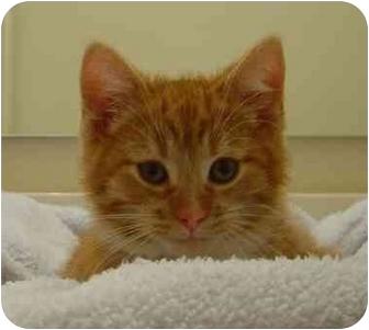 Domestic Shorthair Kitten for adoption in Overland Park, Kansas - Mason