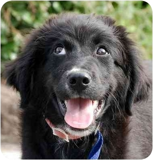 Newfoundland/Border Collie Mix Puppy for adoption in Inman, South Carolina - Kramer