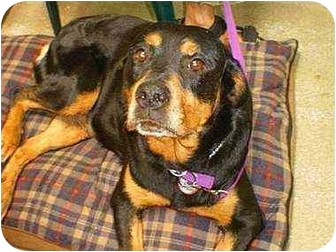 Rottweiler Dog for adoption in West Los Angeles, California - Destiny