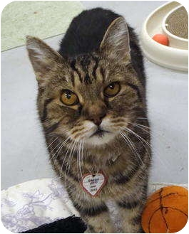 American Shorthair Cat for adoption in Quail Valley, California - Griffin