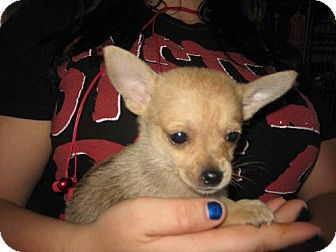 Pomeranian/Yorkie, Yorkshire Terrier Mix Puppy for adoption in Greenville, Rhode Island - Isaac