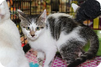 Domestic Shorthair Kitten for adoption in Santa Monica, California - Ivy