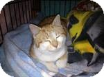 Domestic Shorthair Kitten for adoption in Pittstown, New Jersey - Marcus