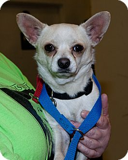 Chihuahua Mix Dog for adoption in Loudonville, New York - Julio