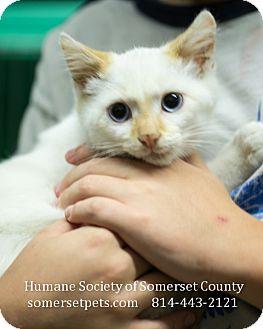 Domestic Shorthair Kitten for adoption in Somerset, Pennsylvania - Hank