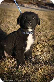 Border Collie/Labrador Retriever Mix Puppy for adoption in Broomfield, Colorado - Elfie FloppyFeet