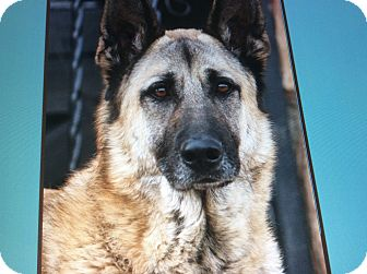 German Shepherd Dog Dog for adoption in Los Angeles, California - DIMITRI VON DEBERN