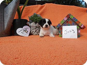 Dachshund/Jack Russell Terrier Mix Puppy for adoption in Paris, Illinois - Joey