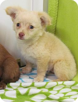 Chihuahua Mix Puppy for adoption in Bedminster, New Jersey - MARNIE