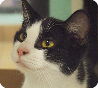Domestic Shorthair Cat for adoption in Daytona Beach, Florida - Sylvester