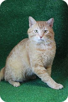 Domestic Shorthair Cat for adoption in South Haven, Michigan - Milo