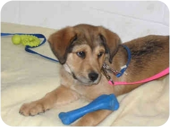 Husky/Shepherd (Unknown Type) Mix Puppy for adoption in Westfield, New York - Maggie
