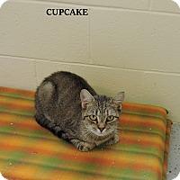 Domestic Shorthair Cat for adoption in Washington, Georgia - Cupcake