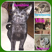 American Shorthair Cat for adoption in Malvern, Arkansas - 14 KITTENS AND CATS