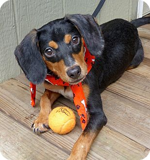 Dachshund/Hound (Unknown Type) Mix Dog for adoption in Baton Rouge, Louisiana - Grover