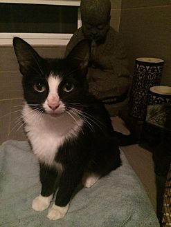 Domestic Mediumhair Cat for adoption in Oak Lawn, Illinois - Fergie