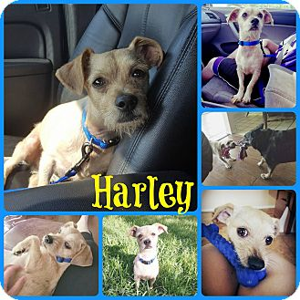 Terrier (Unknown Type, Small) Mix Dog for adoption in Ft Worth, Texas - Harley