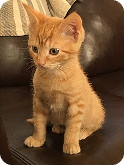 Domestic Shorthair Kitten for adoption in Jackson, New Jersey - Oliver