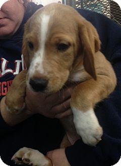 Springer Spaniel/Beagle Mix Puppy for adoption in Paris, Illinois - Dale