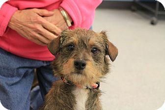 Border Terrier/Wirehaired Fox Terrier Mix Dog for adoption in Martinsville, Indiana - Dak