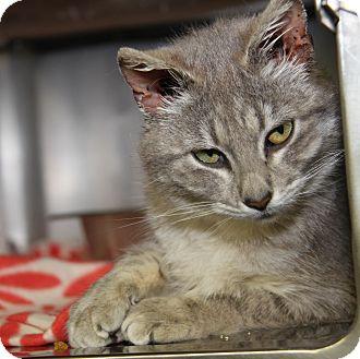 Domestic Shorthair Cat for adoption in Marietta, Ohio - Macy Gray (Spayed)
