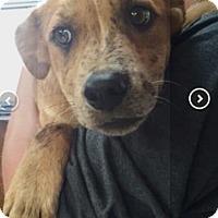 Adopt A Pet :: Kaia - Englewood, NJ