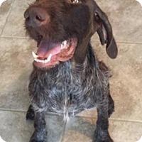 Adopt A Pet :: Charm - Denton, TX
