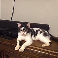 Adopt A Pet :: Bowie - San Ramon, CA