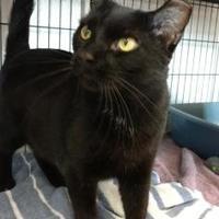 Adopt A Pet :: Ichabod - Decatur, IL