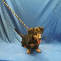 Dachshund Mix Dog for adoption in Livingston, Texas - Kaiser
