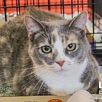 Adopt A Pet :: Lilly Cat - Washington, DC