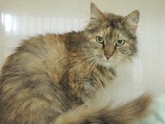 Domestic Mediumhair/Domestic Shorthair Mix Cat for adoption in Conway, New Hampshire - Missy