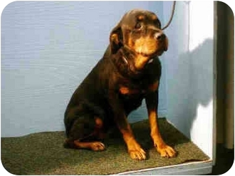 Rottweiler Dog for adoption in Weehawken, New Jersey - Snuggles