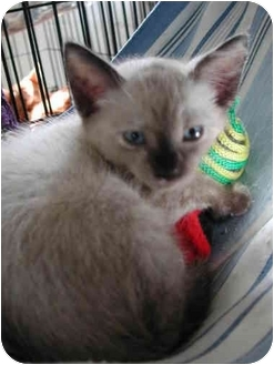Tonkinese Kitten for adoption in Fort Lauderdale, Florida - Kimchi