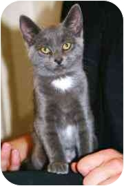 Domestic Mediumhair Kitten for adoption in Walker, Michigan - Grace