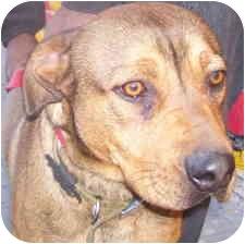 Hound (Unknown Type)/American Staffordshire Terrier Mix Dog for adoption in Malibu, California - KITCHIE