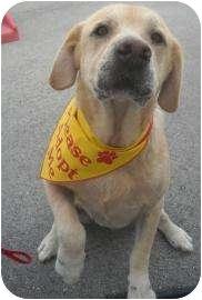 Labrador Retriever Dog for adoption in Altmonte Springs, Florida - Caesar