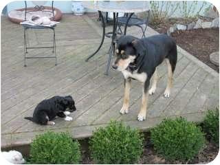 Husky/Labrador Retriever Mix Puppy for adoption in Chilliwack, British Columbia - RAVEN