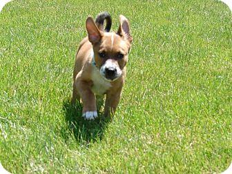 Labrador Retriever Mix Puppy for adoption in South Haven, Michigan - River