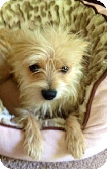 Yorkie, Yorkshire Terrier/Chihuahua Mix Dog for adoption in Allentown, Pennsylvania - Kiwi