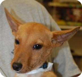 Basenji Mix Puppy for adoption in Brooklyn, New York - Dingo