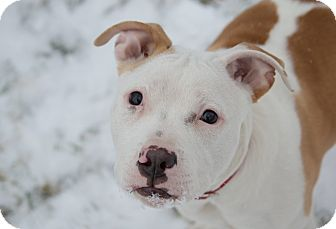 American Pit Bull Terrier Mix Puppy for adoption in Rochester Hills, Michigan - Herbie