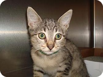 Domestic Shorthair Kitten for adoption in Miami, Florida - Squeeky