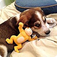 Adopt A Pet :: Brody - Brooklyn, NY